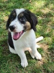 Süßer Berner Sennenhund Tornjak Welpe
