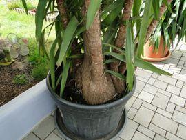 Yucca Palme - für Liebhaber - Hammerpreis -: Kleinanzeigen aus Weisenheim - Rubrik Pflanzen