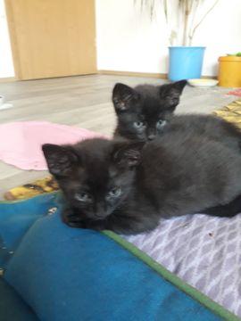 Katzen - 2 wunderschöne Kater Arni und