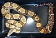Cream Pastel Boa constrictor