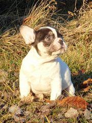 Französische Bulldoggen Welpen in chocotan