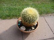 Kaktus Schwiegermutterstuhl