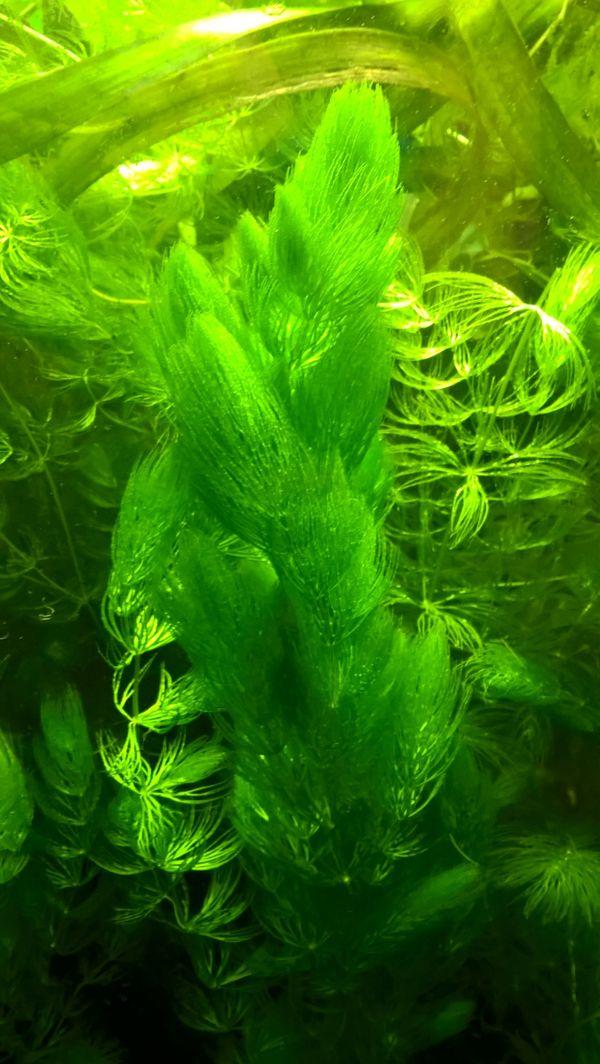 Hornkraut für das Aquarium