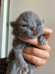 süße Perser Katzen mit Nase