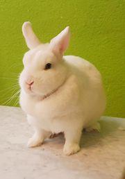 Kaninchen Hermelin zu verkaufen