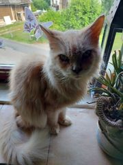 Perser- Main coon- Mix
