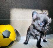 Chihuahua Welpen Rüde und Hündin