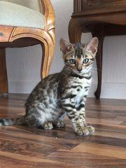 Bengal Kater Kitten Katzen Stammbaum