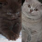 Bkh Kitte bkh Kitten Katze