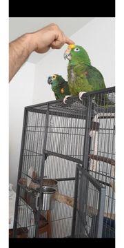 Amazone Papagei