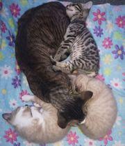 Wunderschöne Kitten abzugeben-Bengal- Devon Rex