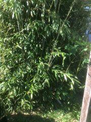 Bambus an Selbstabholer zum Ausgraben