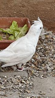 Albino Nymphensittich Henne zu Verschenken