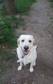 Labrador Tyson sucht neues zuhause
