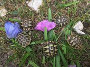 Griechische Landschildkröten Schildkrötenbabys Nachzucht von