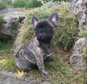 Französische Bulldogge Welpe Rüde