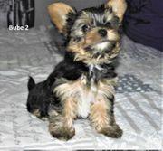 Wunderschöne Yorkshire Terrier Biewer 9