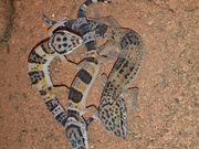 Leopardgeckos von mai juni auf