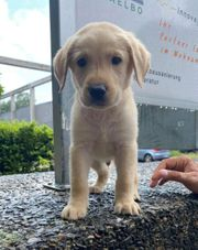Toller Labrador Welpe Blond Retriever