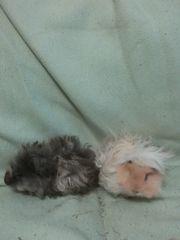 Meerschweinchen männlich und weiblich