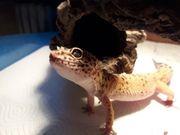 Leopardgecko Männchen 100 het Murphy