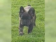 Französische Bulldogge Welpe freiatmend sportlich