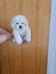 mini Maltese welpen cucuh