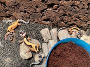 Leopardengeckos Weibchen Jungtiere Zucht