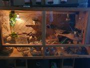 Terrarium mit 4 leopardgeckos und