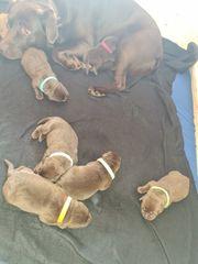 reinrassig Labradorwelpen rüden