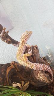 Terrarium Leopardgeckos