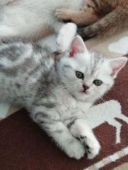 BKH Scottish Mix Kitten