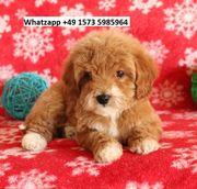 Big Hearted Mini Goldendoodle Welpen