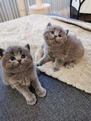 Katzen BKH