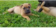 Olde English Bulldog Boxer Mischlingswelpen
