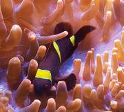 Meerwasseraquaristik - Clownfische Samtanemonenfisch Nachzuchten Premnas