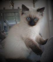 Ragdoll Kitten Abgabebereit