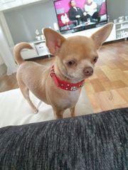 Reinrassiges Mini Chihuahua Mädchen