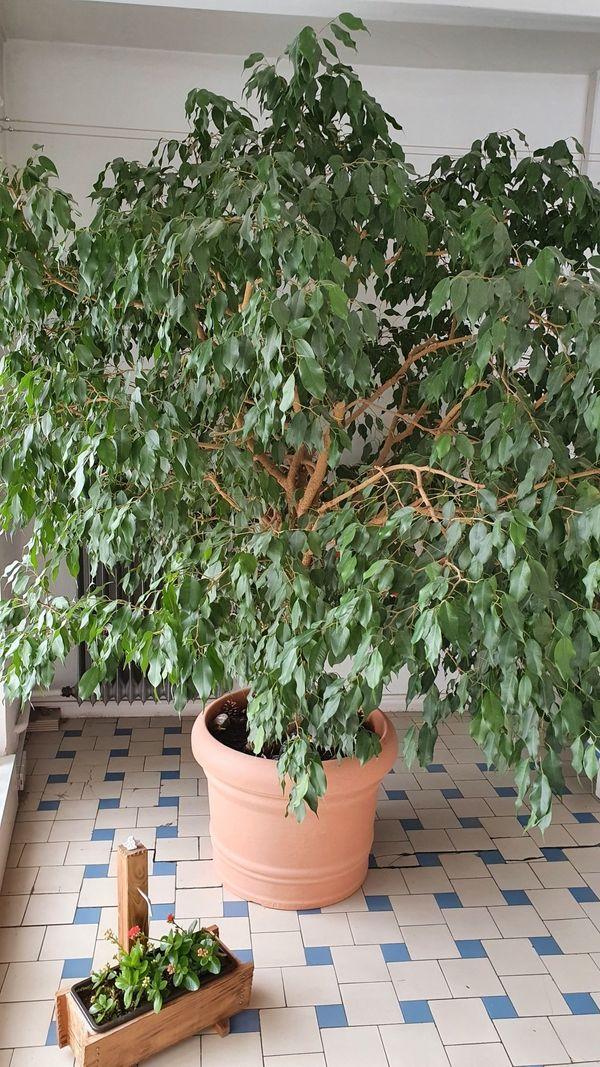 Zimmerpflanze Ficus Benjamini