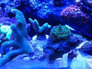 Korallenableger Euphyllia Monti acro zoas