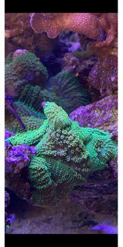 Meerwasser Scheibenanemone Rhodactis Grün Korallen