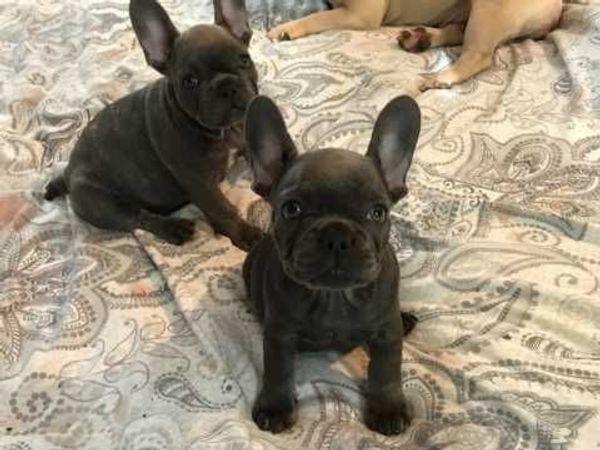 Süss Französische Bulldogge In Dortmund Hunde Kaufen Und