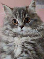 2x 14 Wochen alte BKH-Kitten