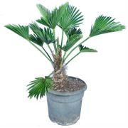 Trachycarpus Wagnerianus - Chinesische Hanfpalme art55179