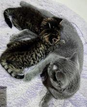 Scottish Kitten reinrassig männlich