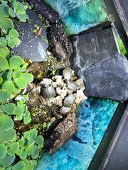 Abgabe 2021 Nachzuchten europäische Sumpfschildkröte