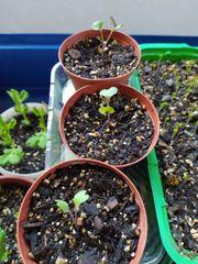 Rotkohl-Jungpflanzen Granat demeter bio samenfest