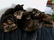 EKH-SF Kitten Glückskatzen