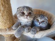 Scottish Fold Katerchen Kitten mit