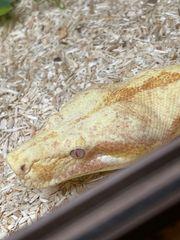 Boa Constrictor Sunglow Jungle Weibchen